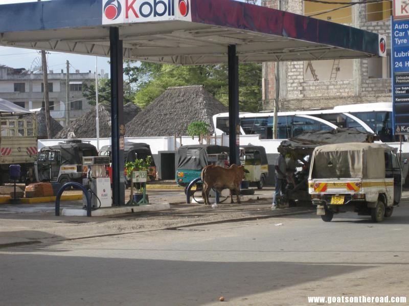 cow waiting to gas up, Malindi, Kenya