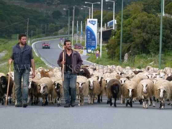 sheep herding greece