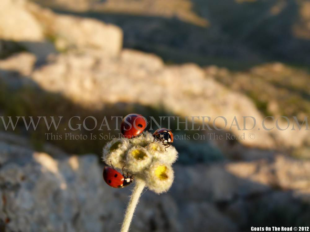 ladybugs mt. nemrut, turkey