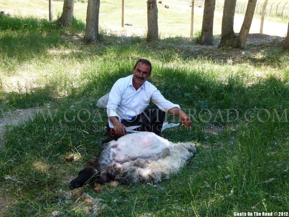 shearing sheep turkey