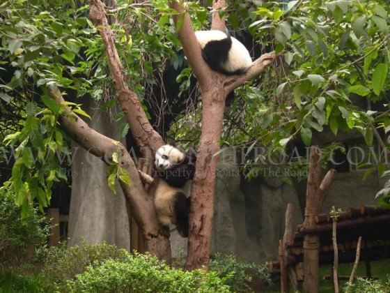 panda in a tree, china