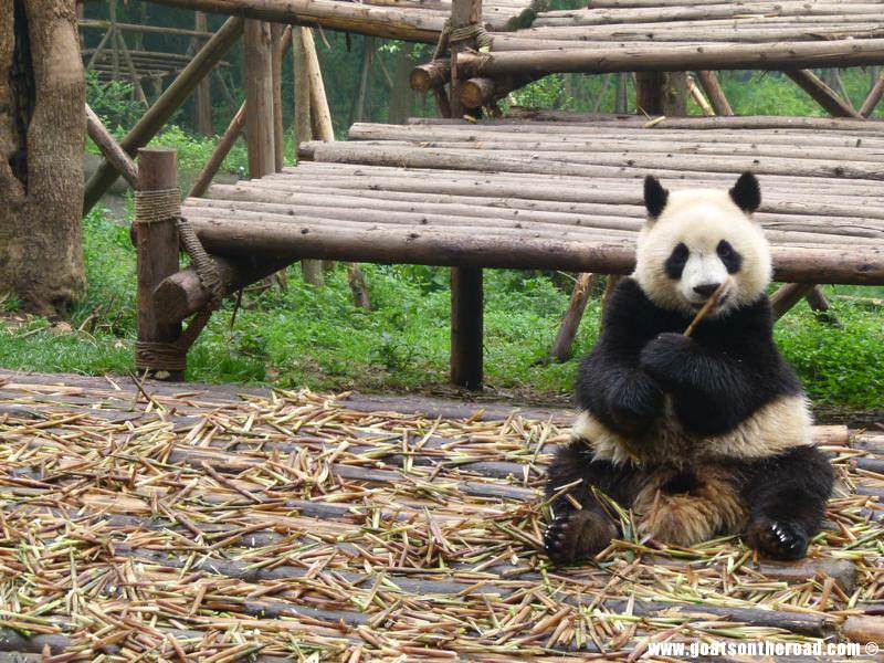 Chengdu budget backpacker, tips and information
