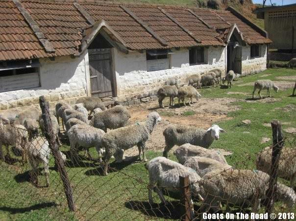 Animals Of The World Sheep - Ooty, India