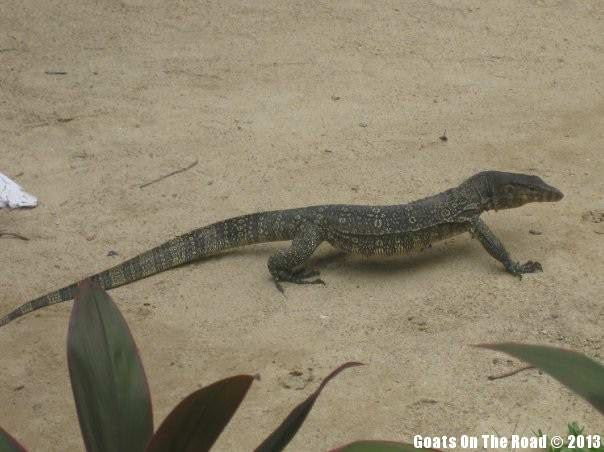 Animals Of The World Monitor Lizard