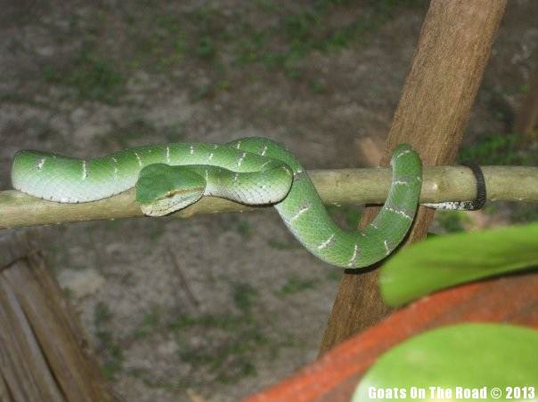 Animals Of The World Green Viper