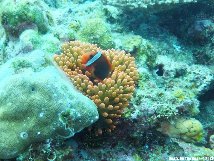 Clown Fish - El Nido, Philippines