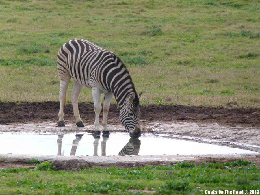 Thirsty Zebra - Addo National Park, South Africa Animals Of The World