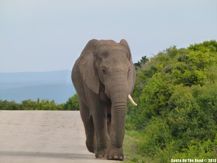 Elephant - Addo National Park, South Africa