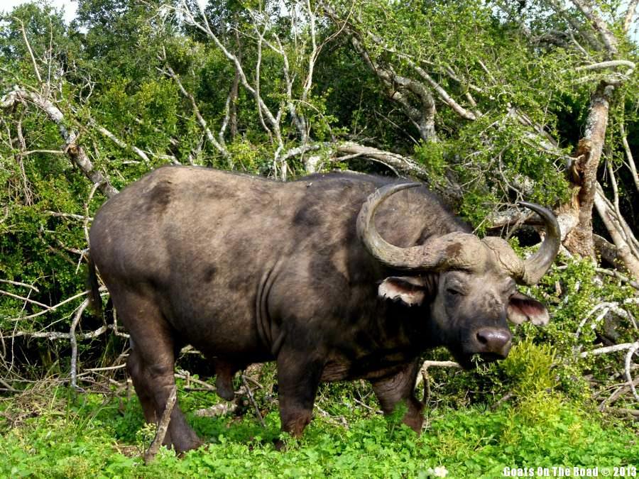 Buffalo - Imfoluzi National Park, South Africa