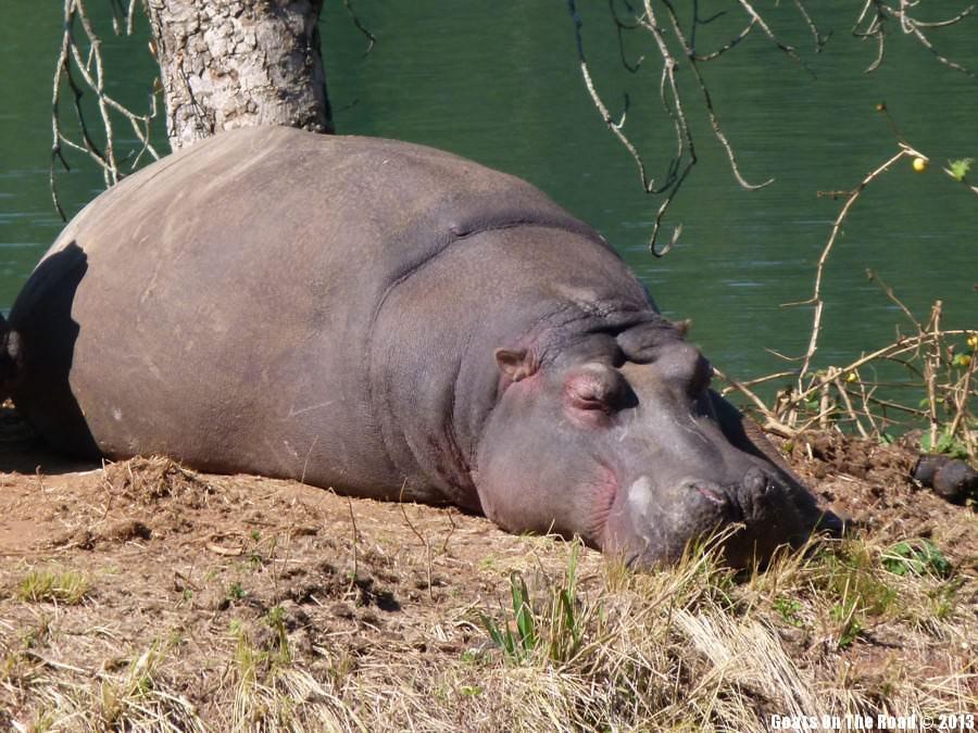 Animals of the world Lazy Hippo - Milwane Nature Reserve, Swaziland