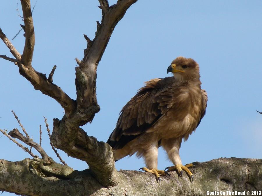Animals of the world Bird Of Prey - Masai Mara, Kenya