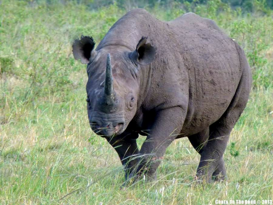 Animals Of The World Extremely Rare Black Rhino - Masai Mara, Kenya
