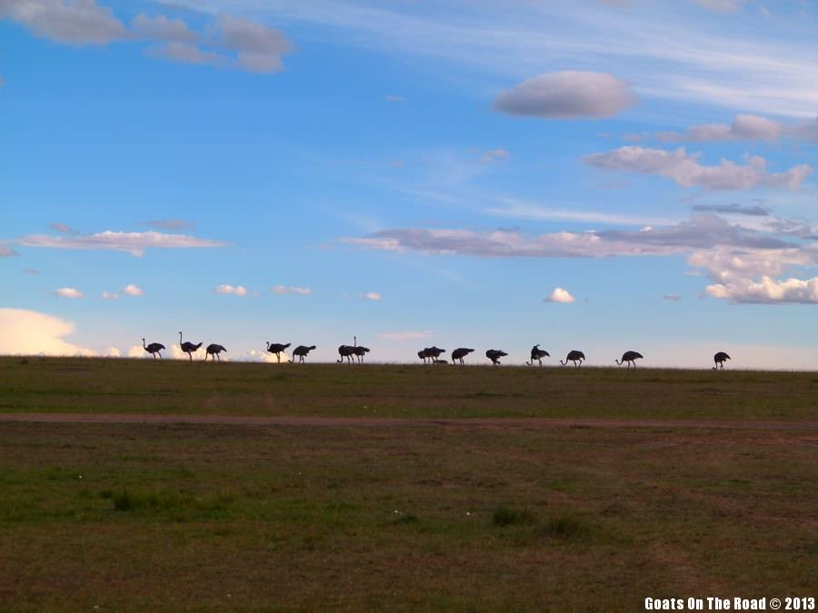 Animals Of The world Ostrich Party - Masai Mara, Kenya