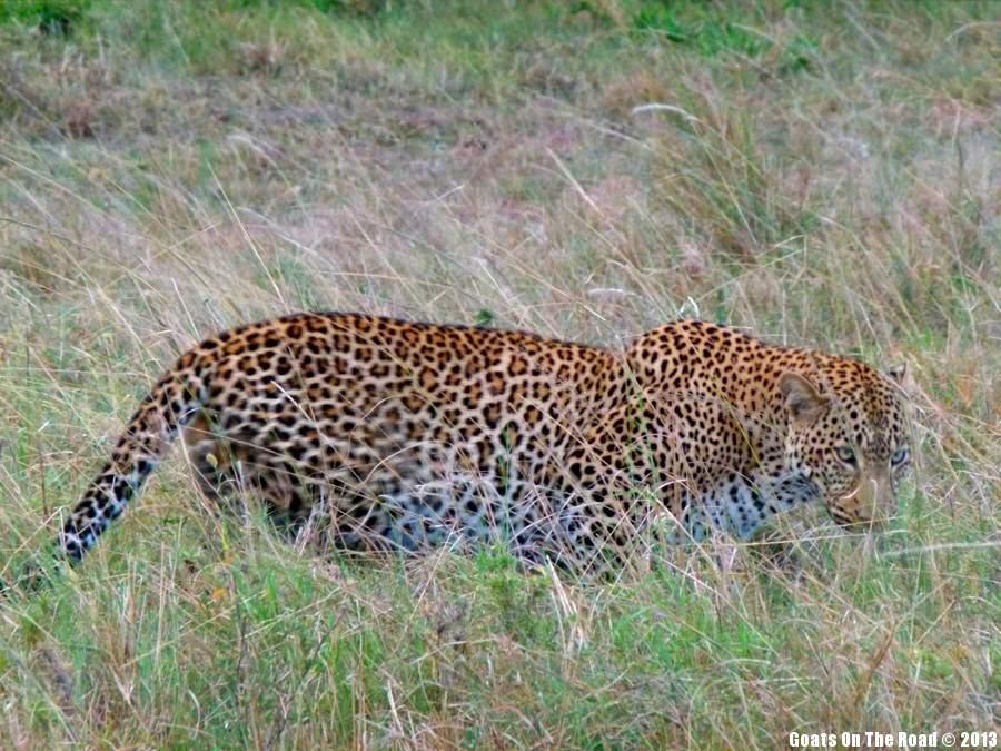 Animals of the world leopard, Kenya