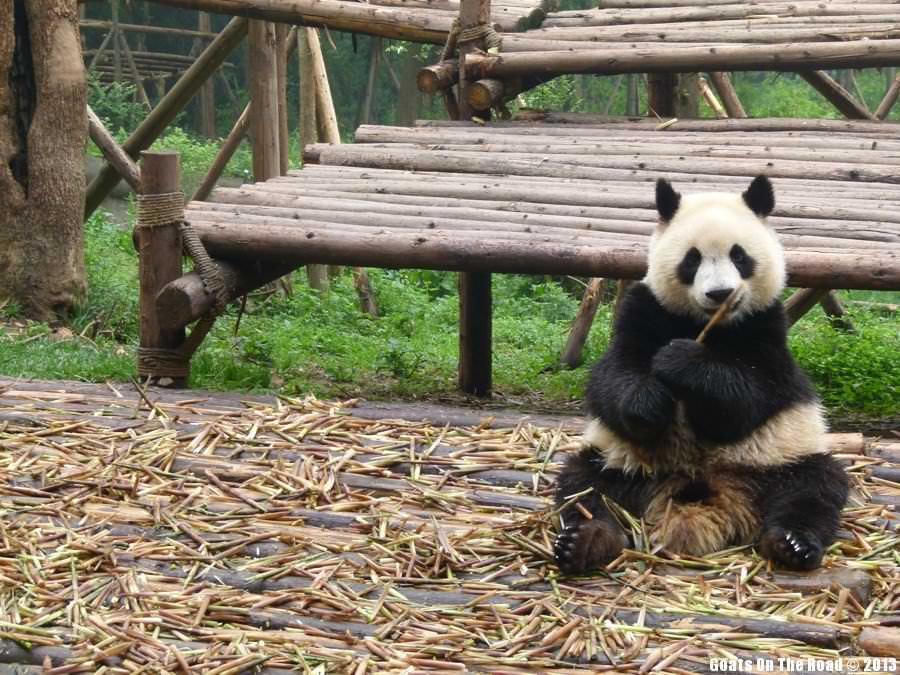 Animals of the world Lunch Time Panda - Chengdu, China