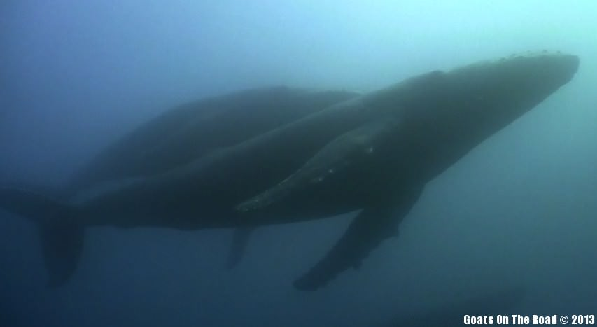 Animals Of The World Diving With Humpback Whales - Tofo, Mozambique
