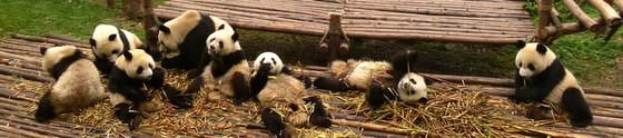 Adorable Pandas Near Chengdu Travelling China On A Budget