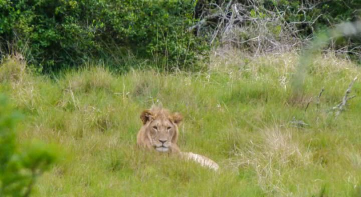 visa free countries for travellers visit south africa for a lion safari