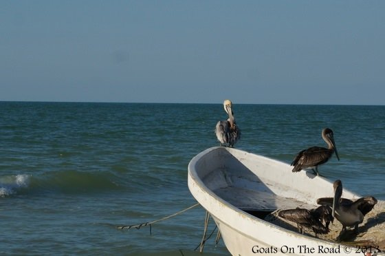 Pelicans On Holbox