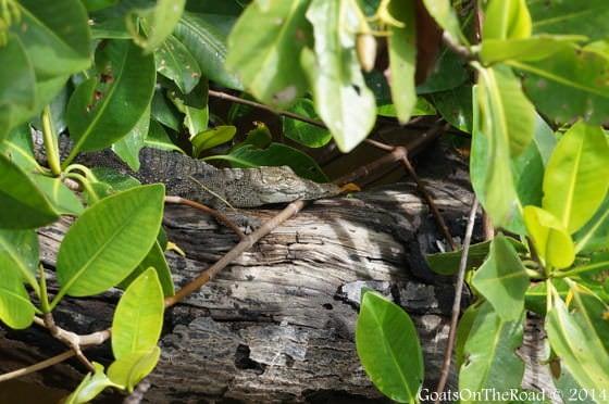 rio lagartos crocodile