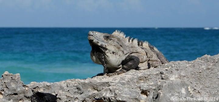 iguanas in tulum