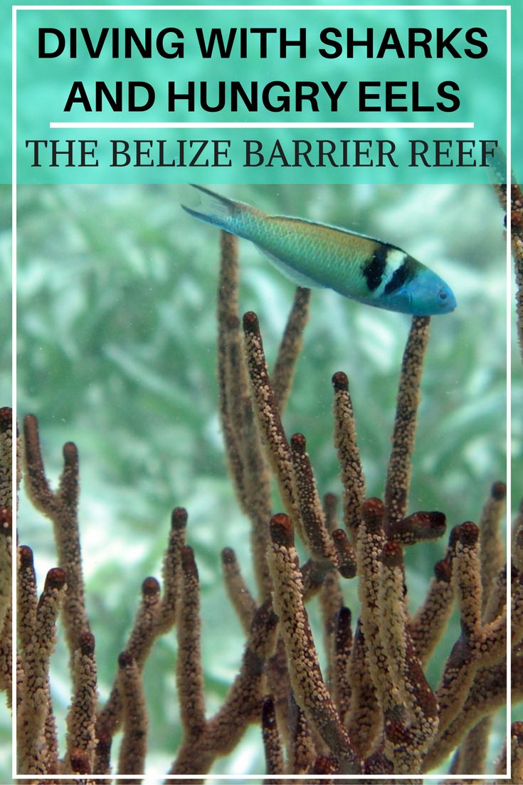 Diving With Sharks and Hungry Eels – The Belize Barrier Reef