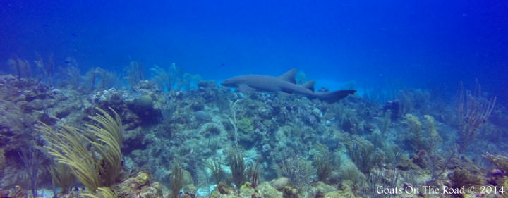 Nurse Shark Dive Ambergris Caye