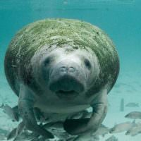 Searching for the Elusive Manatee
