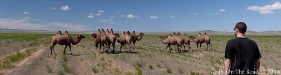 camels in the gobi desert when traveling mongolia