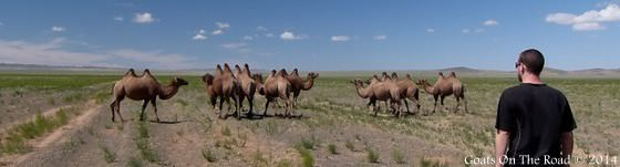 camels-in-gobi