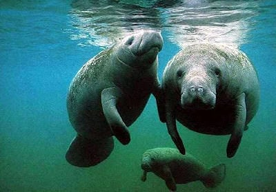 http://gardenofeaden.blogspot.com/2012/07/where-do-manatees-live.html
