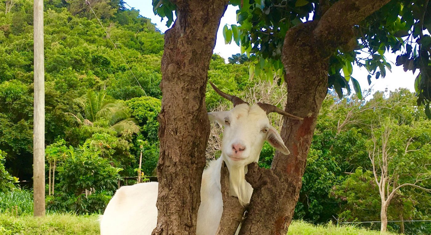 15 Things You Didn't Know About Goats - Goats On The Road