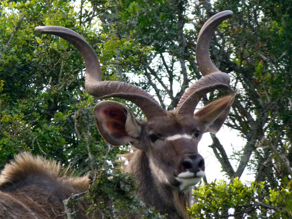 african safari kudu