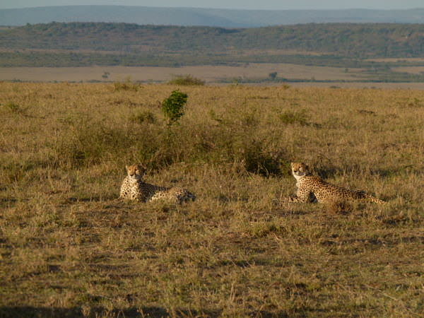 masai mara safari cheetahs