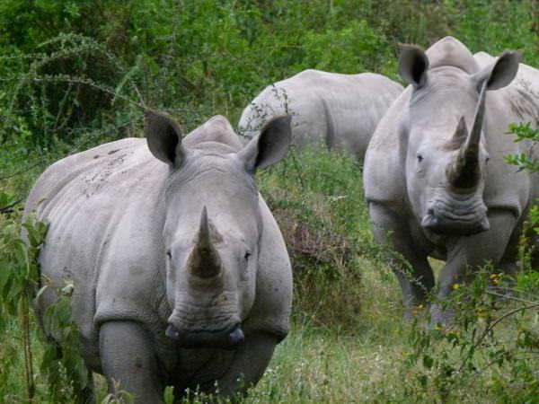 white rhinos on safari