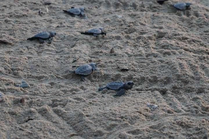 Turtles in San Pancho