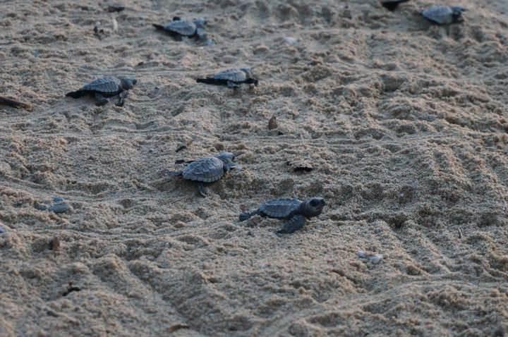 turtle release puerto escondido oaxaca