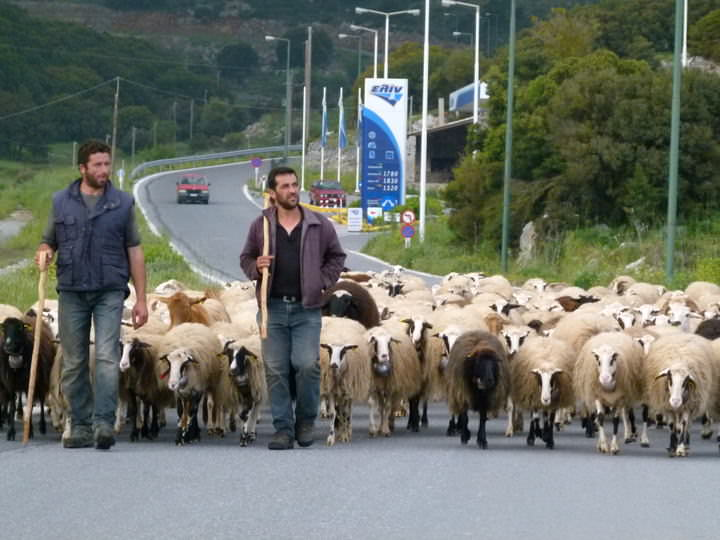 herding sheep greece