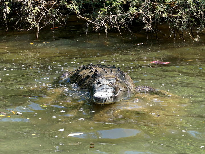 crocodile in mexico