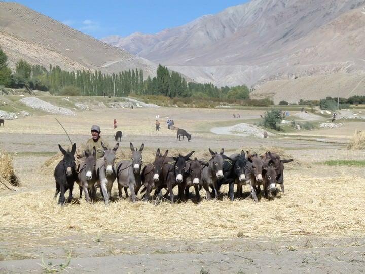 harvest season tajikistan