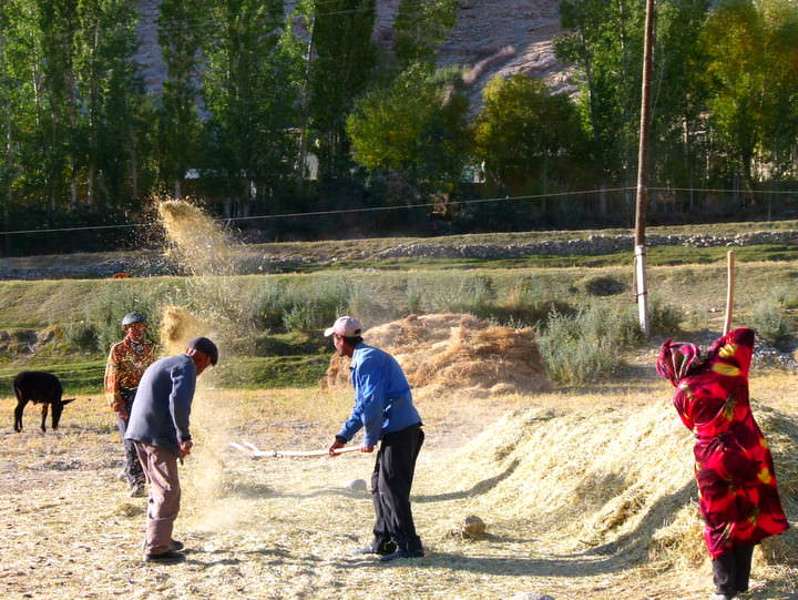 harvest season in langar