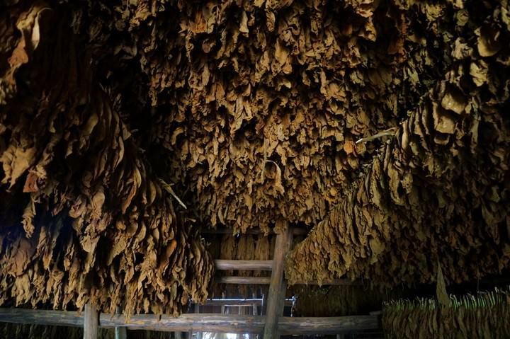 A Tobacco Canopy