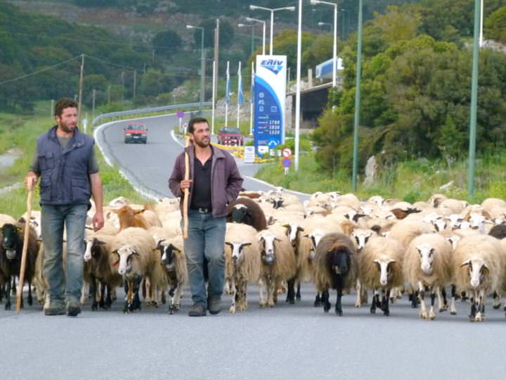 Sheep & Their Shepherds Blocking The Road