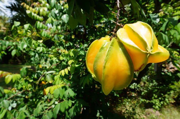 tropical fruit in grenada