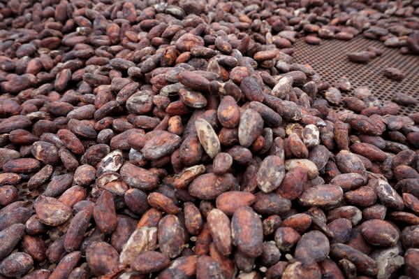 cacao in grenada