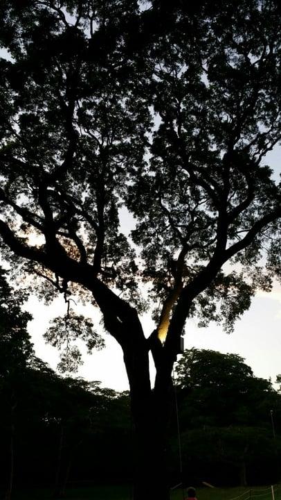 Barbados Tree