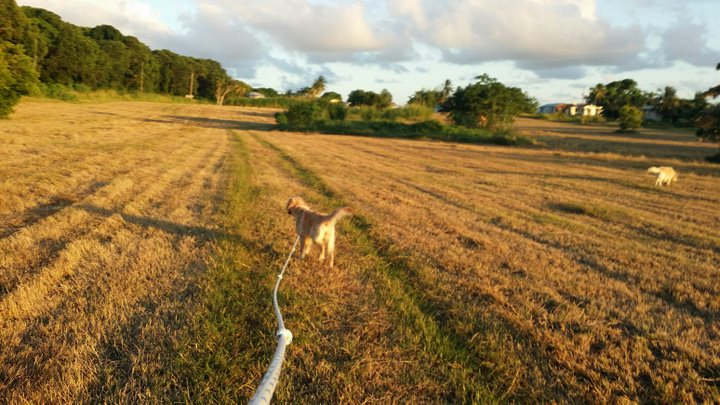 Walking Dogs In Barbados