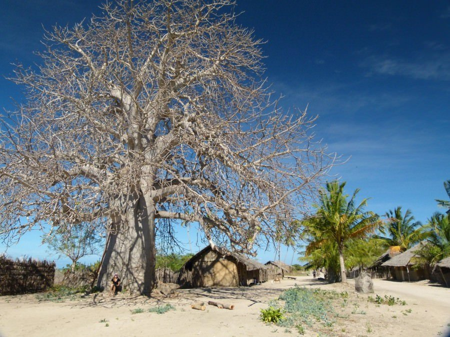 baobob tree in mozambique