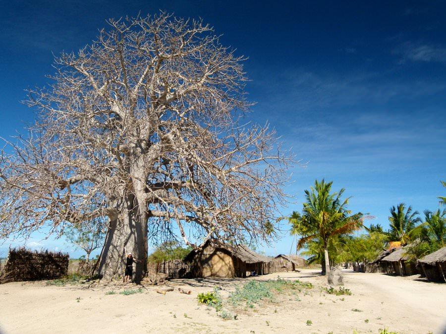 quirimba island baobob tree
