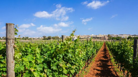 how to make money as a grape harvester on vineyards